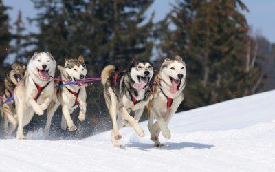 The story of Miko an Alaskan Malamute