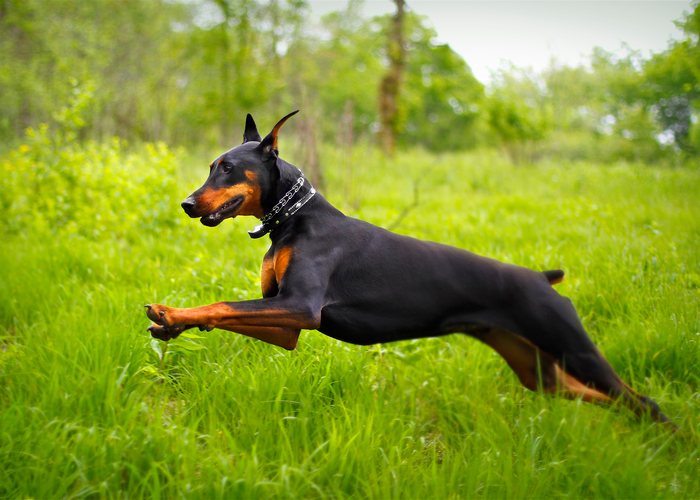 Dobermans: Moving Forward Of The Stereotype