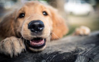 Knuckling Under in Dogs
